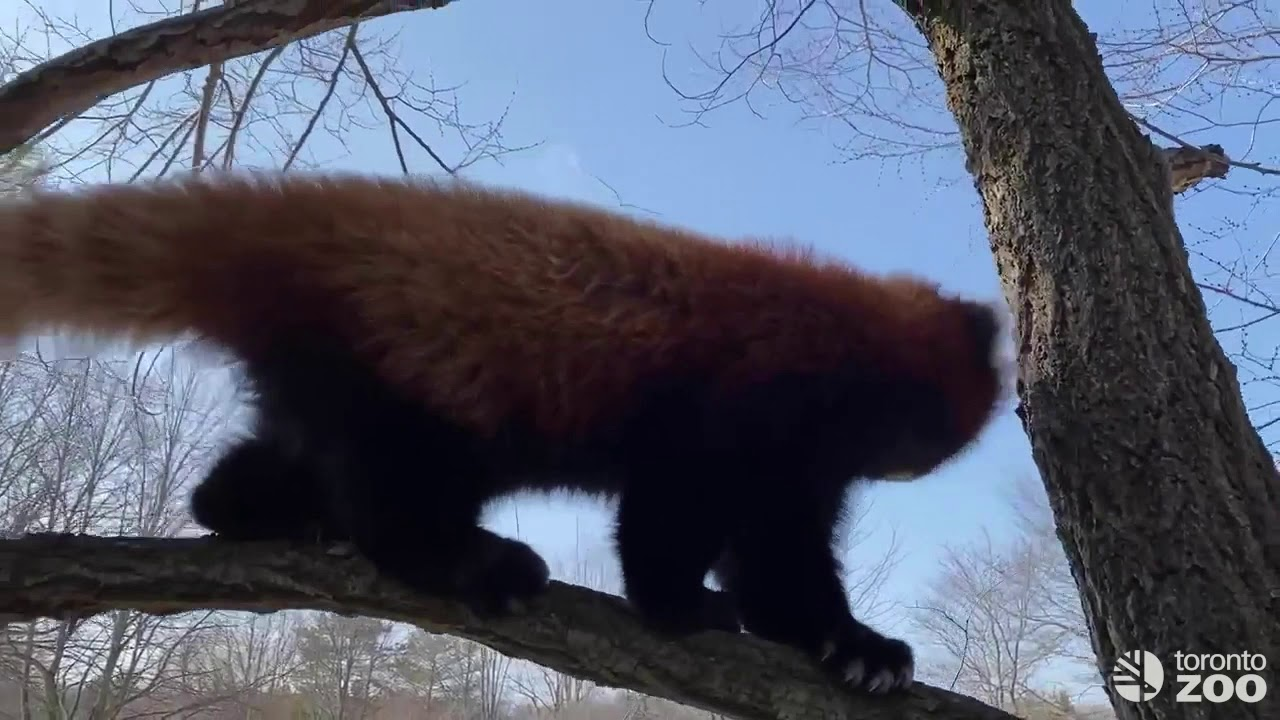 Red Panda Adira and Suva Explore The Outdoors Together