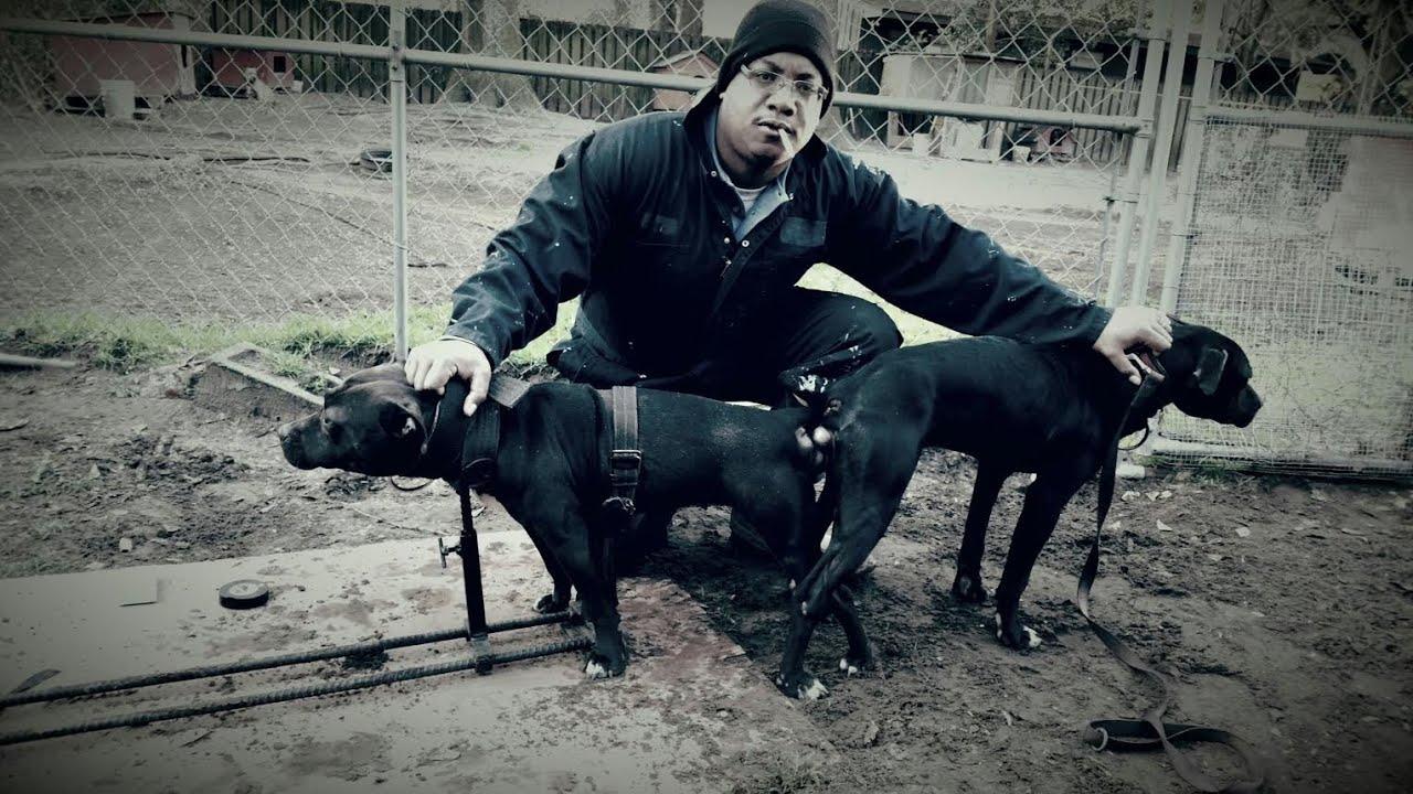 American Pitbull Terrier vs American Bully Thompson ...