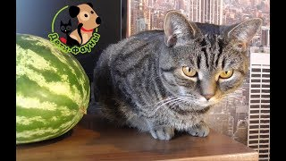 Можно ли собаке / кошке арбуз и дыню?