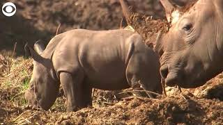 SO STINKIN' CUTE! Baby rhino sticks close to mom