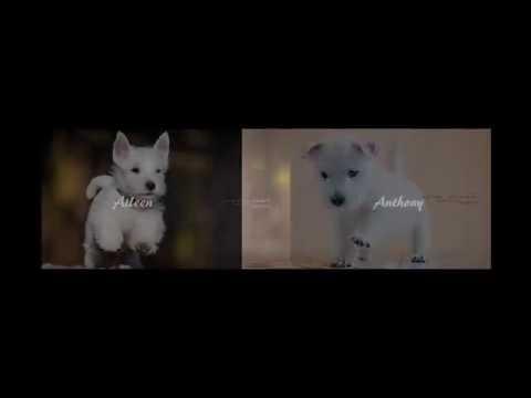 Westie-Begrüßung vom aller Feinsten | Action Westies / West Highland White Terrier Action