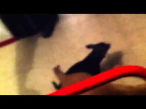Chihuahua gets stuck with pit bull