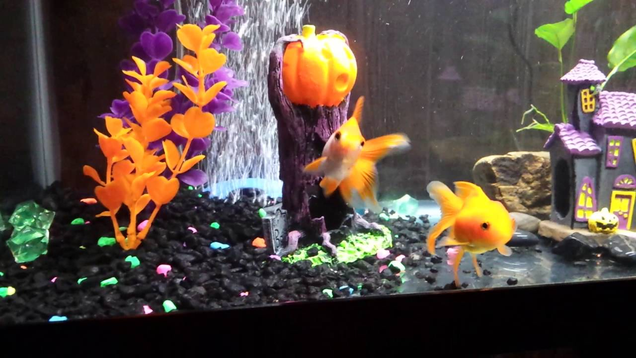 Picking fish for your aquarium - Petsmart Goldfish Tips On Picking Healthy Fish