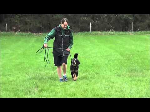 Odin (Tibetan Mastiff) Puppy Training Video
