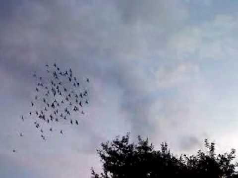 pigeons.MP4