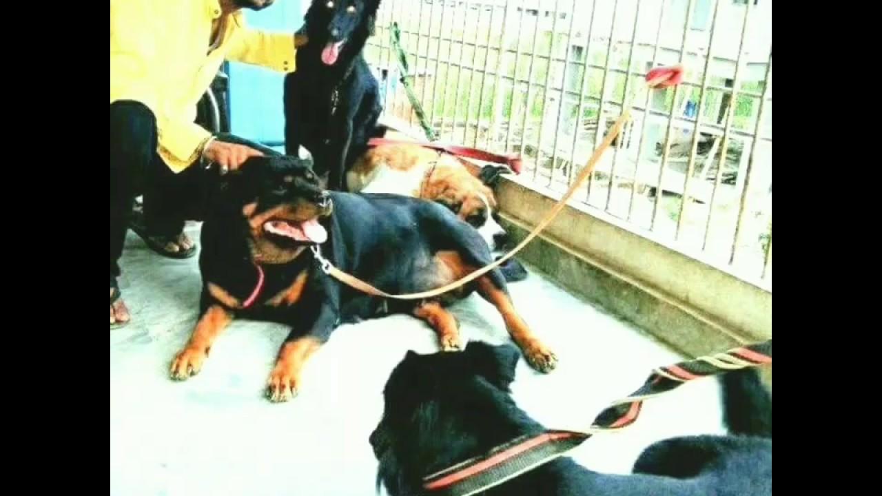Patna Rare Breeds Dog Kennel 7634811134 Bihar American