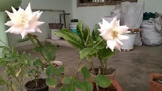VID 10 CARE OF ENGLISH ROSE AND DESI ROSE , MUST WATCH HOW TO DEVELOP GROWTH OF  YOUR ROSE PLANT