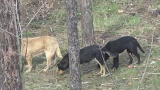 Стая диких собак. feral dogs