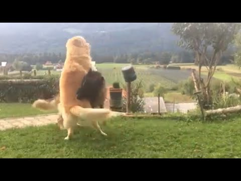 Fight German Shepherd Vs Golden Retriever Youtube