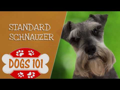 Dogs 101 - Standard Schnauzer - Top Dog Facts About the Standard Schnauzer
