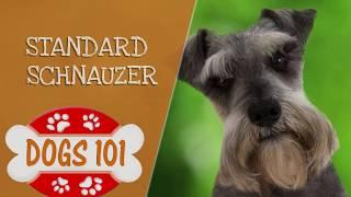 Dogs 101  Standard Schnauzer  Top Dog Facts About the Standard Schnauzer