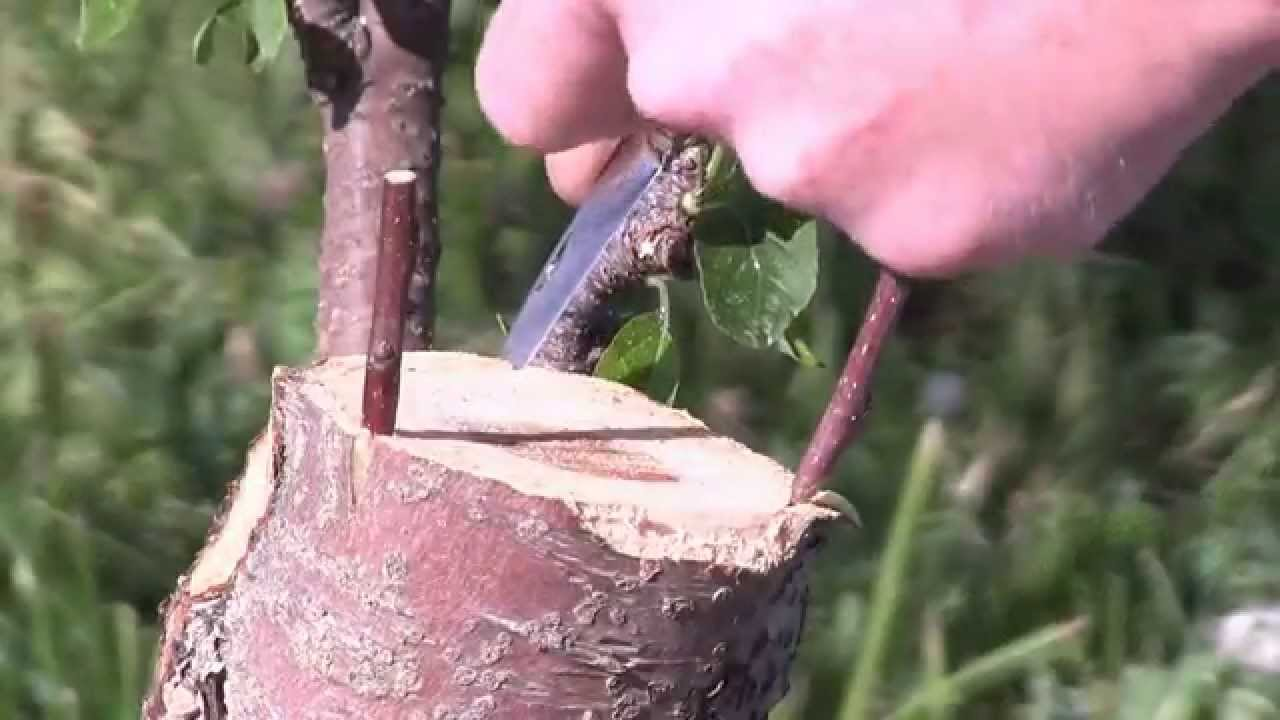 What Is Tree Grafting Youtube