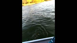 44 inch muskie from marsh creek lake state park pennsylvania