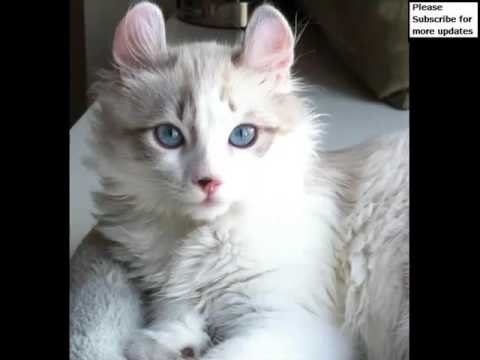 American Curl | Cat Picture Collection