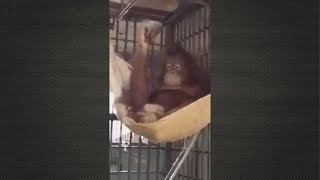Smartest Orangutan in the World - Most intelligent Monkey Ever!