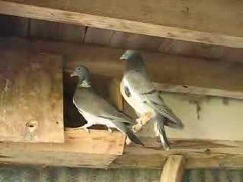 Pigeon Voyageur Quart De Palombe
