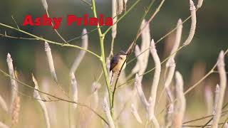 Ashy prinia early morning sunbath The ashy prinia or ashy wren-warbler is a small warbler in the family Cisticolidae. Scientific name: Prinia socialis #ashyprinia #Priniasocialis