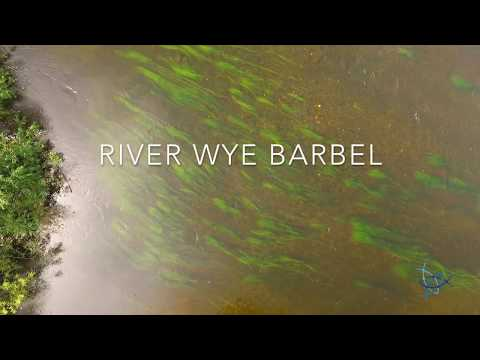 River Wye Barbel