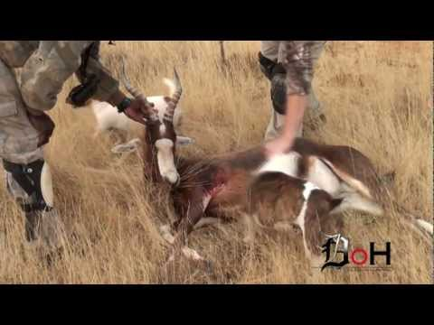 Dead On Hunting Takes A Blesbok In Africa
