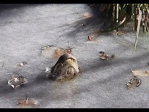 World News In the United States, alligators froze in the ice