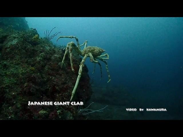Japanese giant clab(タカアシガニ)
