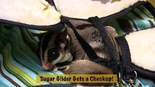 Exotic Pet Vet - Sugar Glider makes adorable noises during exam!