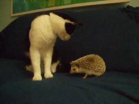 Quirky Creator's My Cat and Hedgehog Interacting