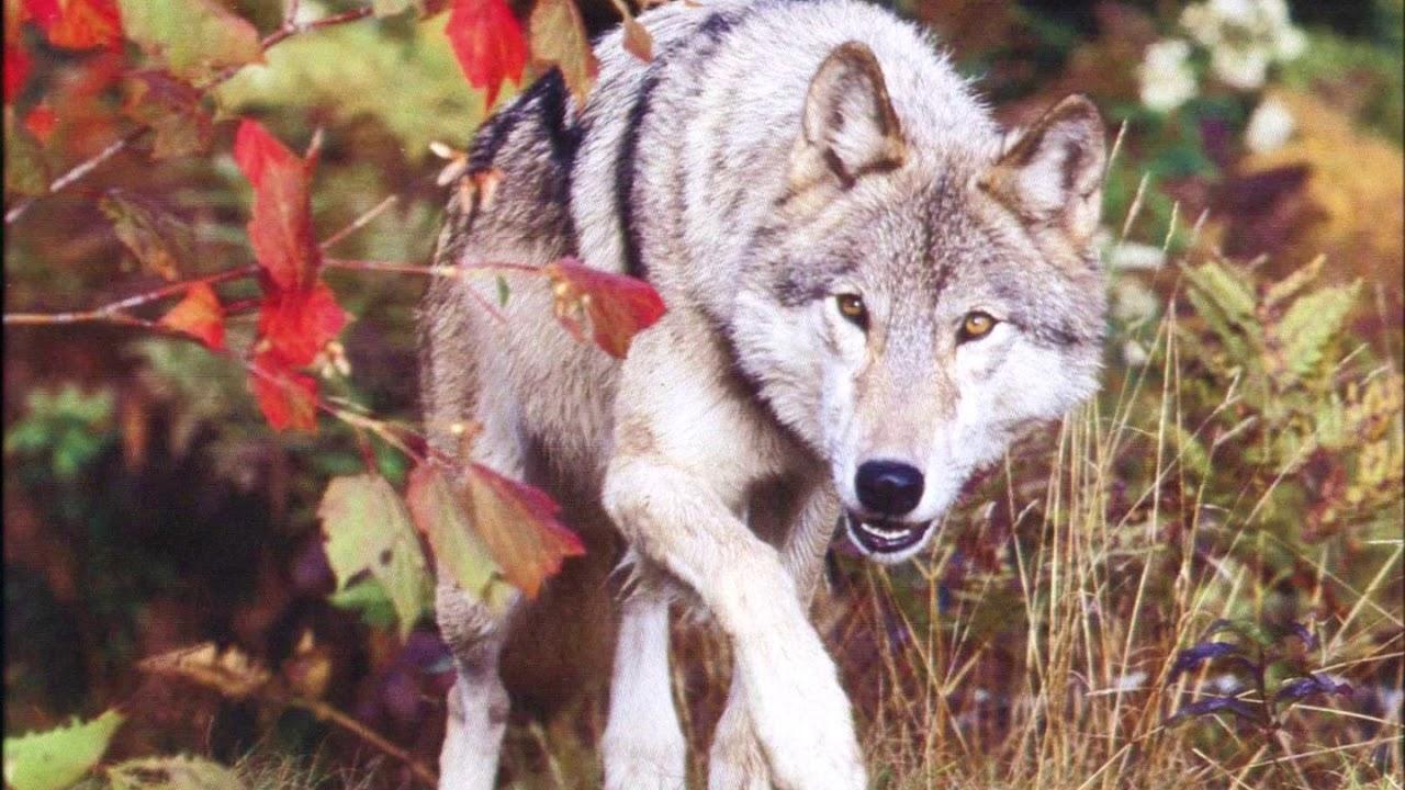 Фото волка с вишней
