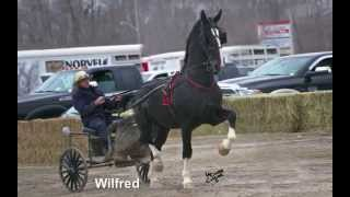 Great Canadian Dutch Horse Stallion 2014