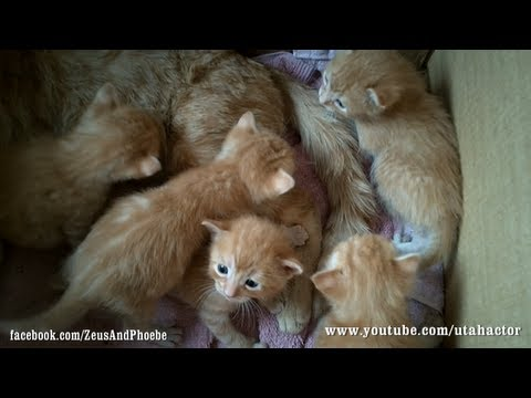 Cute Ginger Kittens Playing with their Momma