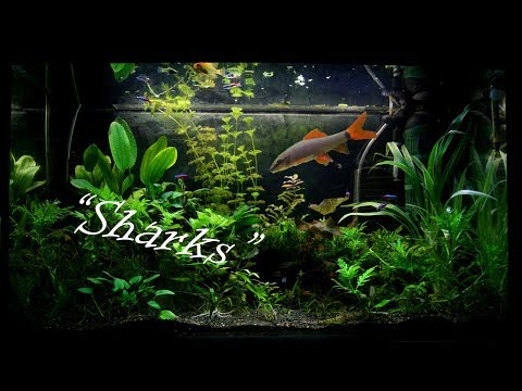 """5 Freshwater """"Sharks"""" For Your Home Aquarium"""