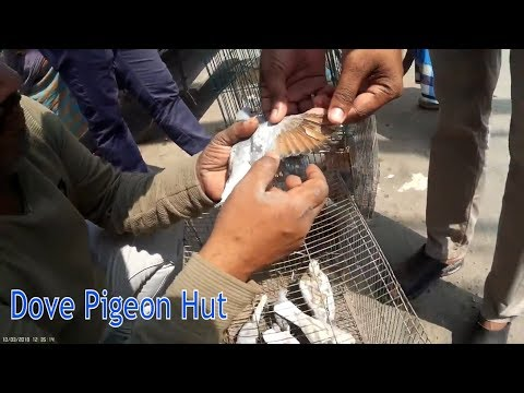 Dove bird sale at pigeon market in mirpur   pigeons for sale at mirpur kobutor bazar