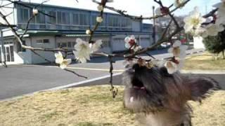 ノーリッチテリア(norwichterrier)のあたまるくんが花を食べてます。...