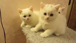 Котятки скоттиш-страйт (шотландская прямоухая кошка)