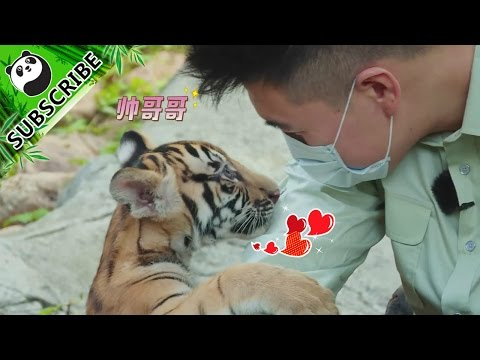 iPanda recommends: Can you tell the differences between tigers and kittens?