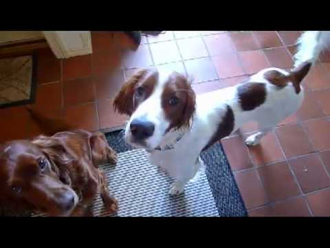 Life with Irish Setters