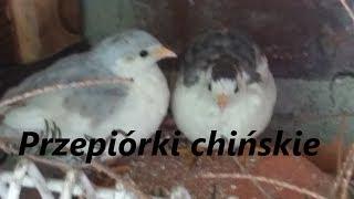 Przepiórki chińskie