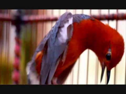 Suara burung anis merah untuk masteran