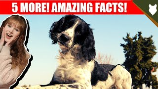 5 AMAZING FACTS ABOUT THE SPRINGER SPANIEL