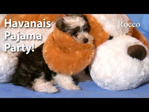 Havanese Puppies Party