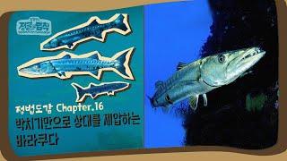 [정법 도감] 떼로 몰려다니는 대형 어류, 바라쿠다  [정글의 법칙|SBS 방송]