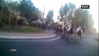 Villefranche: 40 chevaux sur la route