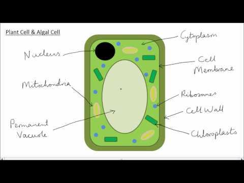 Animal Cell Diagram Gcse ~ DIAGRAM