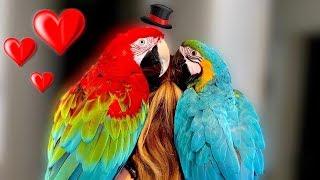 Does Mia Find Love? || Birdsitting Iago The Macaw