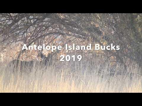 Antelope Island Mule Deer Bucks 2019