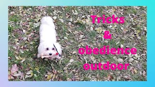 10 Months old Maltese Puppy Tricks and Obedience Outdoor.