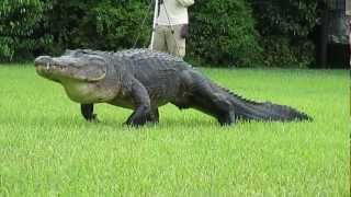Big Gator On The Move