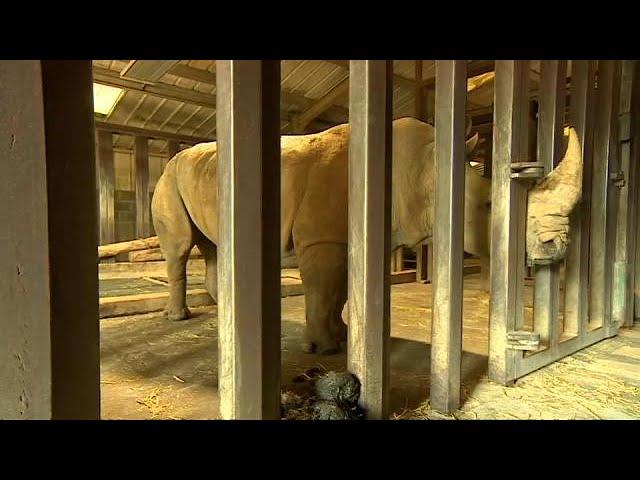 IVF hopes for northern white rhino