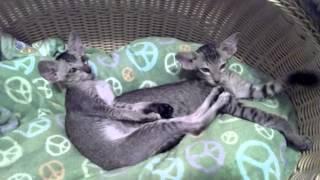 Ориентальные котята Бяша и Няша