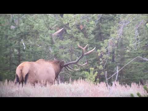 Elk Rut in Yellowstone